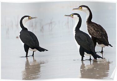 Three Cormorants by Werner Padarin