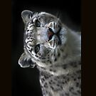 &quot; Watchful Eyes &quot; Snow Leopard iPhone Case  by Love Through The Lens
