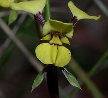 Diuris abbreviate (Lemon Dovetail) by Russell Mawson
