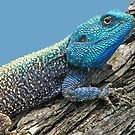 Tree Agama by jozi1