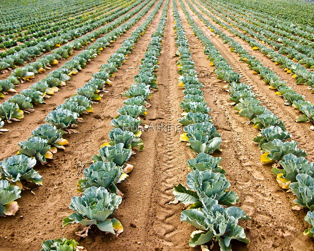 Vegetable Rows by Rob Atkinson