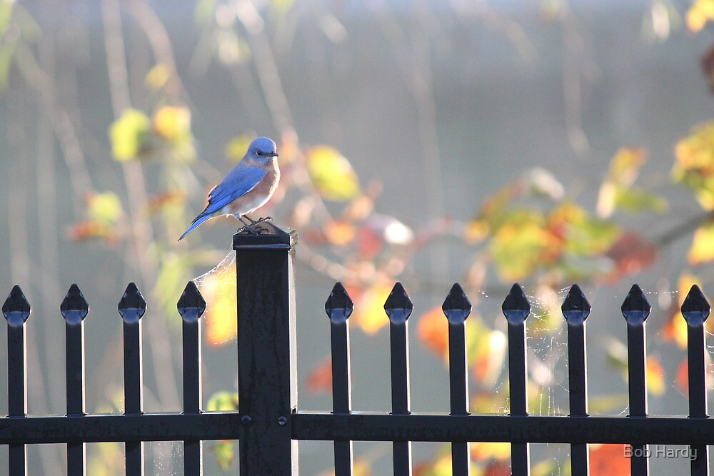 Blue Bird by Bob Hardy