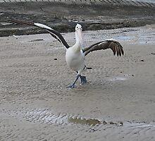 Dancing Pelican by desley55
