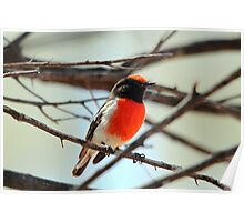 Red-capped Robin - Male Poster