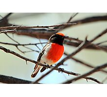 Red-capped Robin - Male Photographic Print