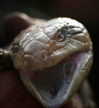 Blue Tongue lizard   Sticker