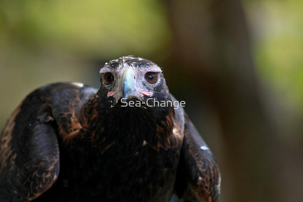 Australia Zoo - Wedge-Tailed Eagle by Sea-Change