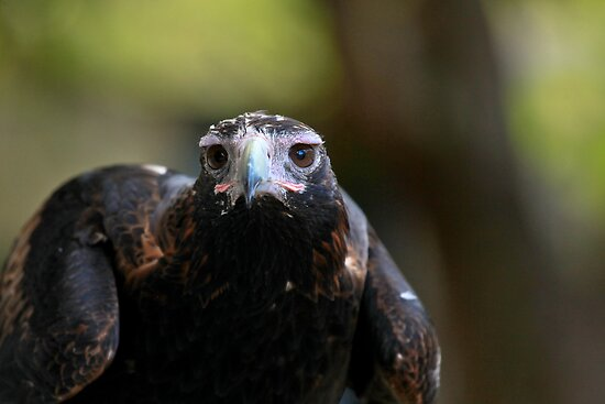 Australia Zoo - Wedge-Tailed Eagle by Sea-Change