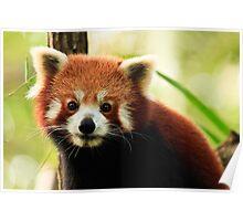 Alma Park Zoo - Red Panda  Poster