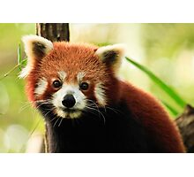 Alma Park Zoo - Red Panda  Photographic Print