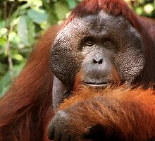 Orangutan - Central Kalimantan - Indonesia by Erin McMahon
