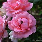 Pink Roses with Bee by Darkness666