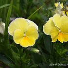 Yellow Pansies by Annie Altherr