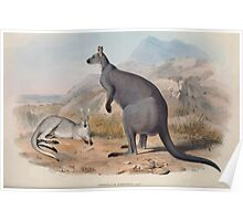 A monograph of the Macropodidæ or family of kangaroos John Gould 1842 005 Petrogale Robustus Poster