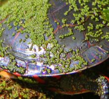 Painted Turtle Sticker