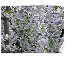 White Tree Blossoms Poster