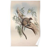 A monograph of the Macropodidæ or family of kangaroos John Gould 1842 027 Dendrolacus Inustus Poster
