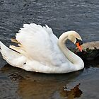 Mute Swan on River, Beside a Rock  by Rod Johnson