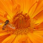Hoverfly enters the marigold by Phil Howcroft