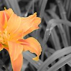 Orange flower on Grey background by max  randall