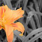 Orange flower on Grey background by max  randall