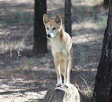 Dingo on watch by Jon Charles