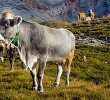 Unusual grey carrot topped dairy cow - Dolomites by David Galson