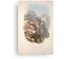 A monograph of the Macropodidæ or family of kangaroos John Gould 1842 006 Oetrogale Bracuydtis Metal Print