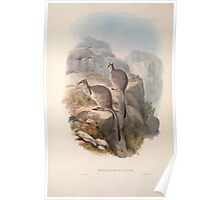 A monograph of the Macropodidæ or family of kangaroos John Gould 1842 006 Oetrogale Bracuydtis Poster