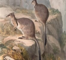 A monograph of the Macropodidæ or family of kangaroos John Gould 1842 006 Oetrogale Bracuydtis Sticker