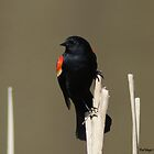 Red-winged Blackbird (male) II by KatMagic Photography
