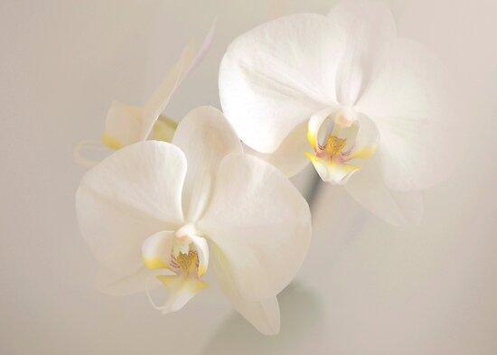 orchids by JOSEPHMAZZUCCO
