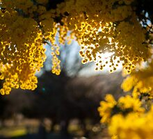 Golden Wattle by Candice84