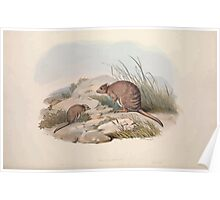 A monograph of the Macropodidæ or family of kangaroos John Gould 1842 030 Bettoncia Fasclata Poster