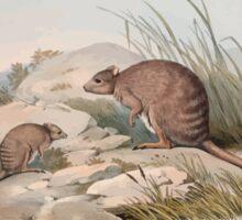 A monograph of the Macropodidæ or family of kangaroos John Gould 1842 030 Bettoncia Fasclata Sticker