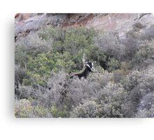 Goat on Greek Islands Canvas Print