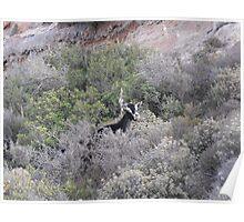 Goat on Greek Islands Poster