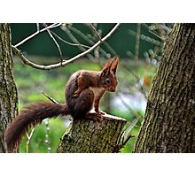 Red Squirrel .......... Photographic Print