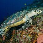 Hawksbill turtle - Erectmochelys imbricata by Andrew Trevor-Jones