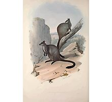 A monograph of the Macropodidæ or family of kangaroos John Gould 1842 023 Petrogale Penicillata Photographic Print
