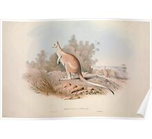 A monograph of the Macropodidæ or family of kangaroos John Gould 1842 004 Macropus Unguifer Poster