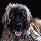 The Leonberger by Jo-PinX