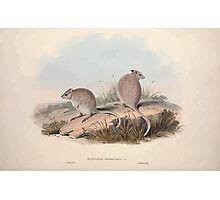 A monograph of the Macropodidæ or family of kangaroos John Gould 1842 013 Bettongia Rufescens Photographic Print