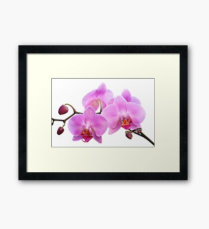 Orchid Flowers II - Pink Framed Print