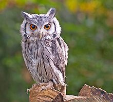 Scops Owl by Chris Thaxter