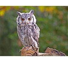 Scops Owl Photographic Print