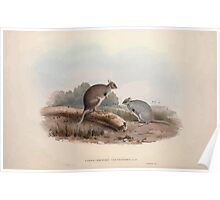 A monograph of the Macropodidæ or family of kangaroos John Gould 1842 012 Lagorchestes Lepoides Poster