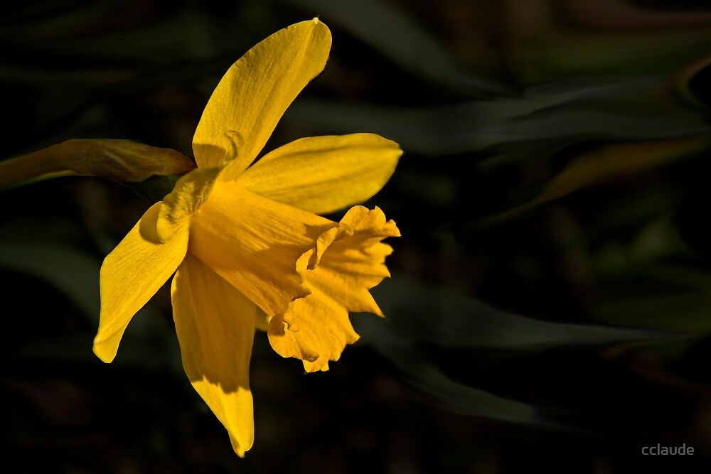 Yellow Daffodil by cclaude