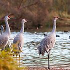 Sandhill Cranes on Watch by Tracy Riddell
