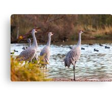 Sandhill Cranes on Watch Canvas Print